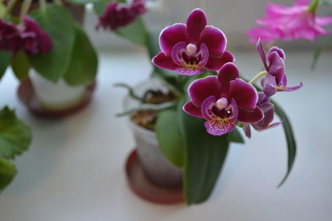 Орхідея: догляд в домашніх умовах