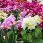 Орхідея: догляд в домашніх умовах + секрети поливу, пересадки, розмноження