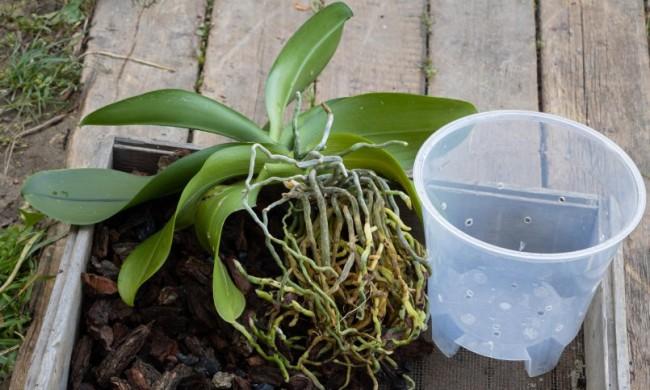 Вибір горщика для орхідеї
