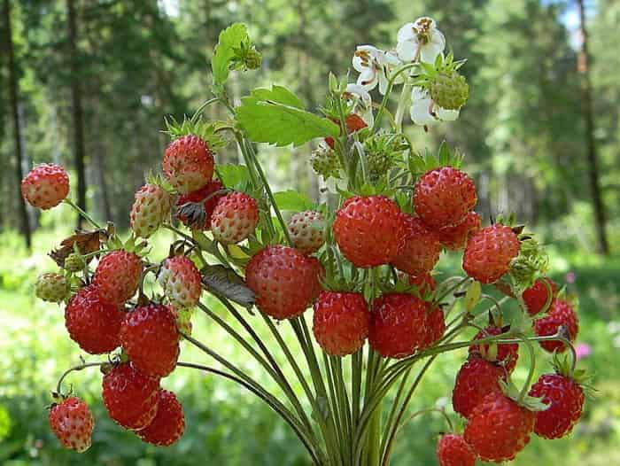 Суниця садова: вирощування і догляд у відкритому грунті