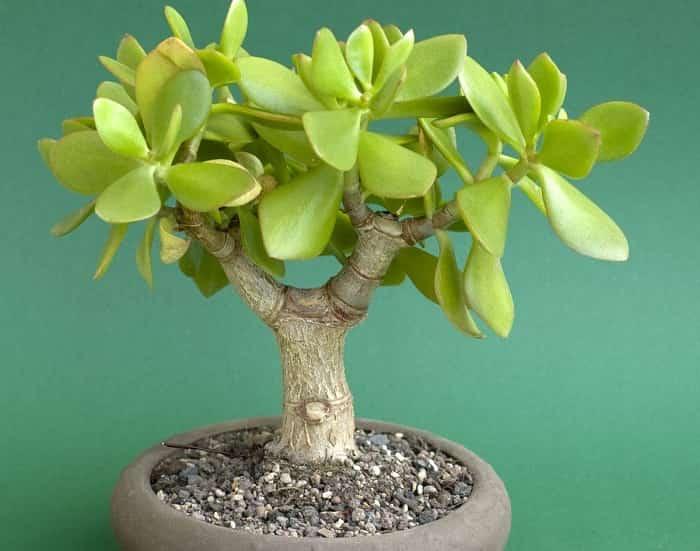 Грошове дерево: догляд і вирощування в домашніх умовах