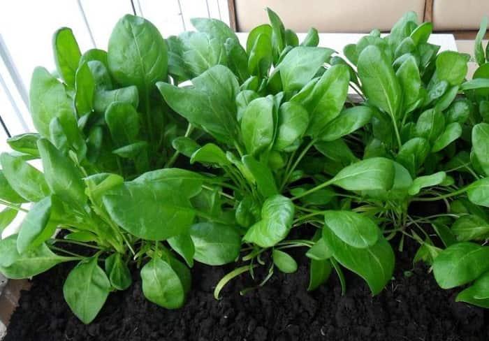 Як виростити шпинат в домашніх умовах?