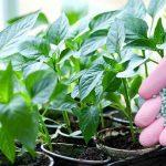 Чим підгодувати розсаду перцю: коли вносити добрива і які використовувати?
