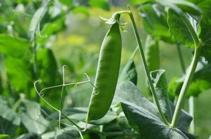 Як вирощувати горох у відкритому грунті?