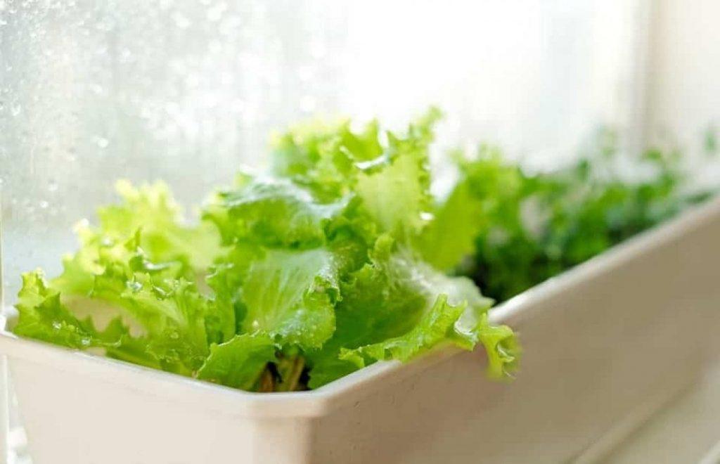 Як виростити листовий салат у відкритому грунті, в теплиці і на підвіконні?