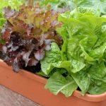 Правила вирощування салату на підвіконні і на городі