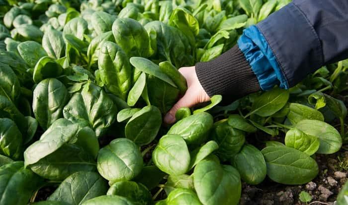 Як виростити шпинат у відкритому грунті?