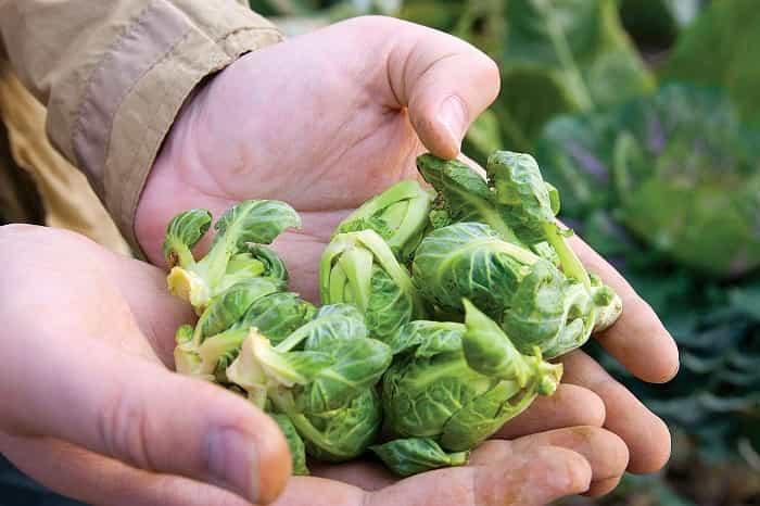 Брюссельська капуста: вирощування на городі