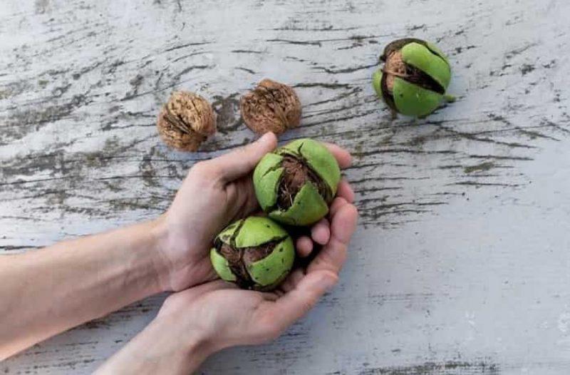 Чим підгодувати волоський горіх навесні, влітку і восени