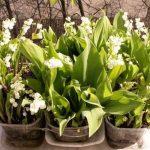 Конвалії: вирощування і догляд в саду, розмноження