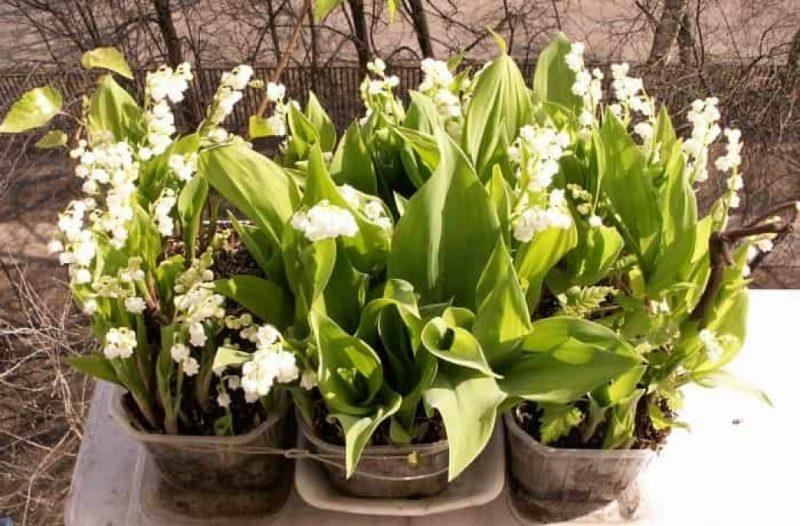 Конвалії: вирощування і догляд