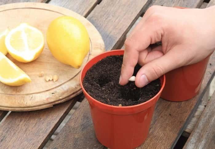 Як виростити плодоносний лимон в домашніх умовах? Поради як виростити лимон з кісточки, як доглядати за кімнатними цитрусовими?
