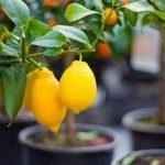 Як виростити лимон в домашніх умовах: догляд, обрізка, щеплення