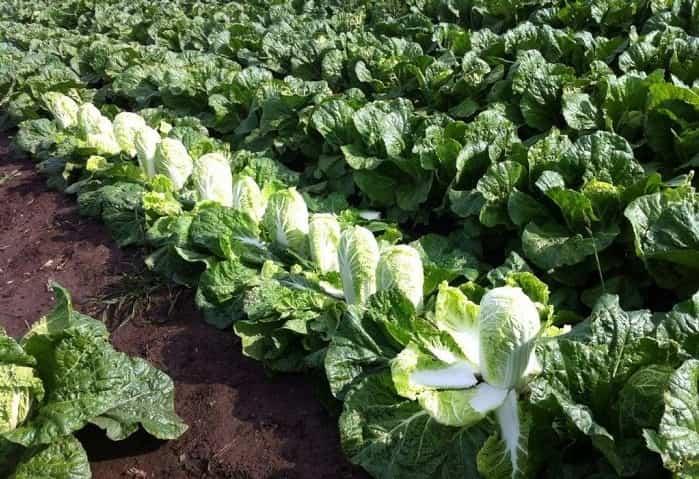 Вирощування пекінської капусти у відкритому грунті?