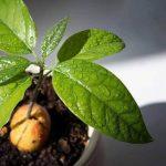 Вирощування авокадо з кісточки: в домашніх умовах і у відкритому грунті