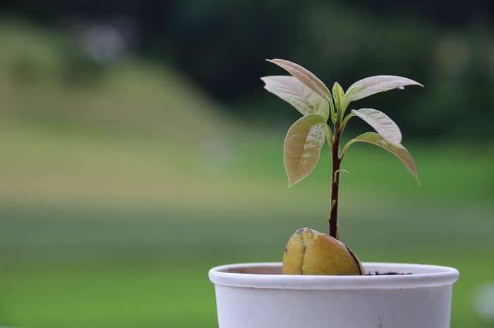 Вирощування авокадо з кісточки