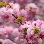 Як виростити мальовничу сакуру в своєму саду?