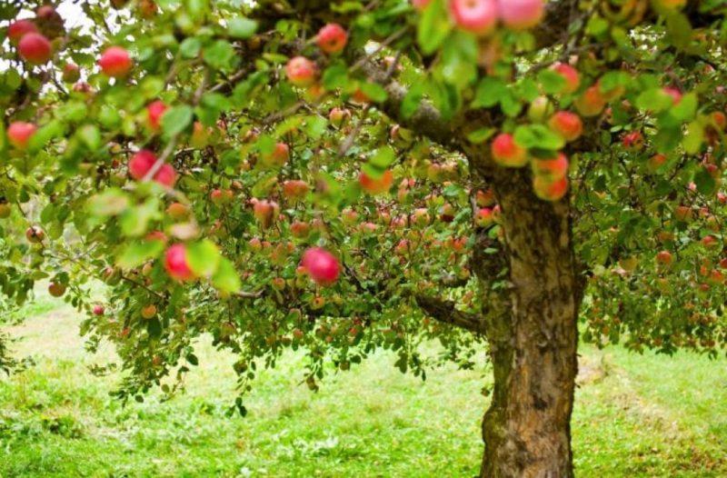 Підживлення яблунь восени