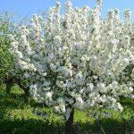 Нюанси осіннього підживлення плодових дерев і чагарників
