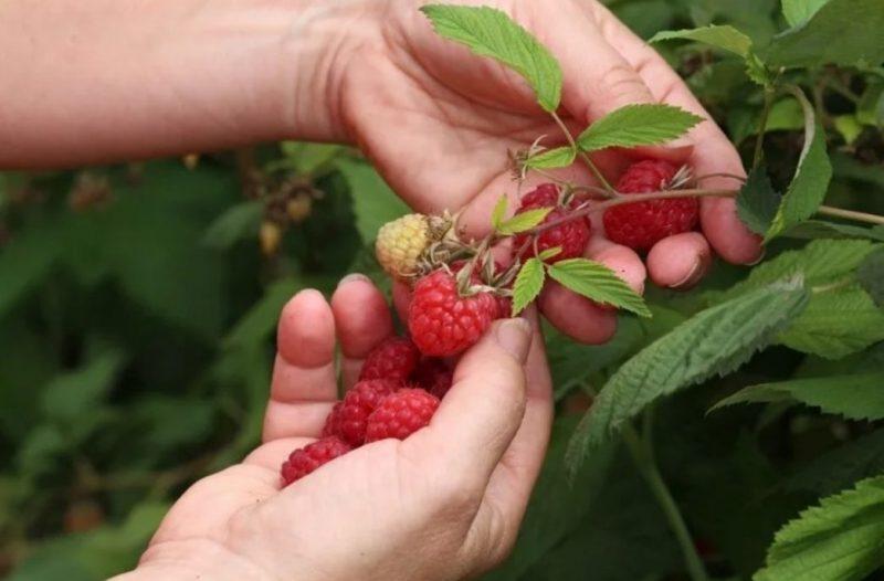 Підживлення малини восени мінеральними та органічними добривами