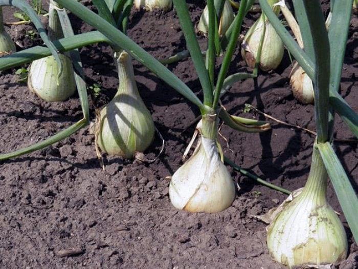 Як правильно і вчасно садити цибулю під зиму?