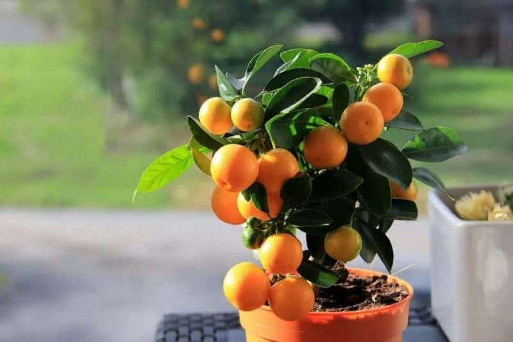 Як виростити мандарин з кісточки в домашніх умовах?