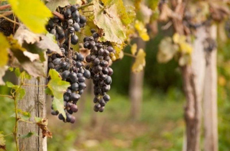 Підживлення винограду восени
