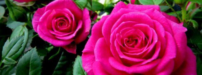 Підживлення троянд восени: як і коли проводити?