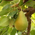Підживлення груші: які добрива потрібно використовувати для високого врожаю?